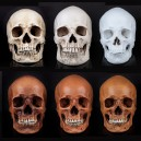 Collection of Film Theme Resin Real Human Skull Model Medical Skull Skull